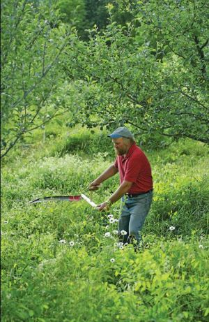 The bush blade on this straight-snath scythe is stocky enough to mow down even root suckers. (photo: Frank Siteman)