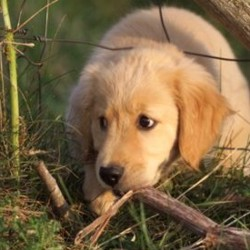 Avena: golden retriever pup at Heartsong Farm (photo by Michael Phillips)