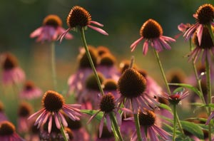 echinacea purpurea cluster at Heartsong Farm