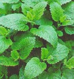 Lemon Balm soothes our souls and is a clinically-proven antiviral herb.