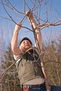 Michael Phillips, holistic orchardist, pruning an apple tree at Lost Nation Orchard (photo by Frank Siteman)