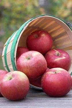 SnowSweet apples are getting rave reviews. -- photo: University of Minnesota