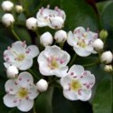 The pink pollen stamens in these native hawthorn blossoms indicate optimal medicinal potency.
