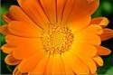 Calendula Flower -- Healing Preparations: click for herbal remedies from Heartsong Farm Healing Herbs (photo: Michael Phillips)